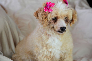 Poodle (Toy) Dog For Adoption in Bon Carbo, CO, USA