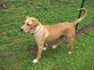 Labrador Retriever Mix Dog For Adoption in Morehead, KY, USA