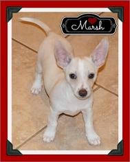 Italian Greyhuahua Dog For Adoption in Arlington, TX