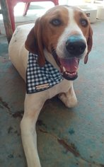 Treeing Walker Coonhound Dog For Adoption in Apple Valley, CA, USA