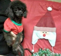 Poodle (Miniature) Dog For Adoption in Pacolet, SC