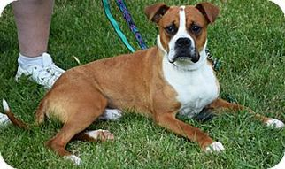 American Staffordshire Terrier Mix Dog For Adoption in Huntley, IL, USA