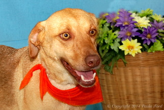 Labrador Retriever Mix Dog For Adoption in Elizabeth City, NC, USA