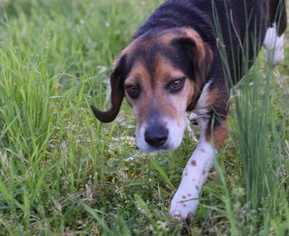 Beagle Dog For Adoption in Social Circle, GA, USA