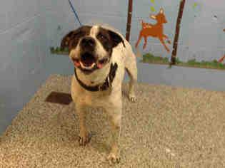 Bullboxer Pit Dog For Adoption in San Bernardino, CA, USA