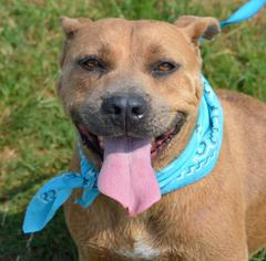 American Pit Bull Terrier Mix Dog For Adoption in Liverpool, TX, USA