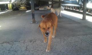 Labrador Retriever Mix Dog For Adoption in tucson, AZ, USA