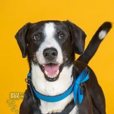 Labrador Retriever Mix Dog For Adoption in Northbrook, IL, USA