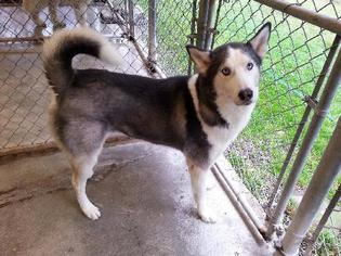 Siberian Husky Dog For Adoption in Matawan, NJ