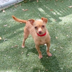 Chihuahua Mix Dog For Adoption in VACAVILLE, CA, USA