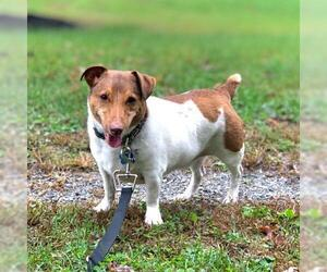 Jack Russell Terrier Dogs for adoption in Landenberg, PA, USA