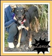 Border-Aussie Dog For Adoption in Arlington, TX, USA
