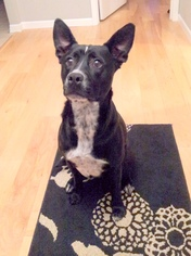 Labrador Retriever Mix Dog For Adoption in Denton, TX
