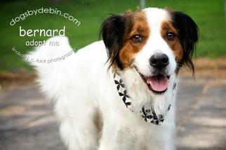 Irish Setter-Saint Bernard Mix Dog For Adoption in Kansas City, MO, USA
