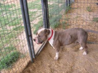 American Pit Bull Terrier Dog For Adoption in Yoder, CO, USA