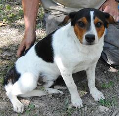 Beagle Mix Dog For Adoption in Harrison, AR, USA
