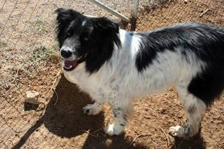 Border Collie Mix Dog For Adoption in Corrales, NM, USA