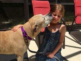American Pit Bull Terrier-Labrador Retriever Mix Dog For Adoption in Sarasota, FL, USA