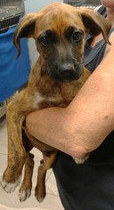 View Ad: Black Mouth Cur-Plott Hound Mix Dog for Adoption ...