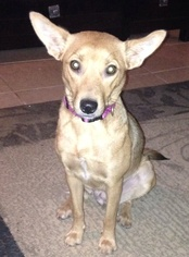 Rat Terrier Mix Dog For Adoption in San Antonio, TX, USA