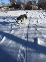 Alaskan Malamute-Anatolian Shepherd Mix Dog For Adoption in Aurora, CO