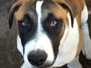 Boxer Mix Dog For Adoption in Dallas, TX, USA