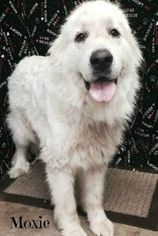 Great Pyrenees Dog For Adoption in Rockaway, NJ