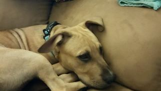 American Pit Bull Terrier Dog For Adoption in Ponca City, OK, USA