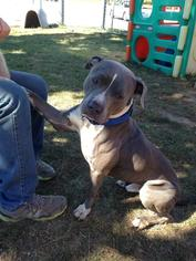 American Staffordshire Terrier Mix Dog For Adoption in Whitestone, NY