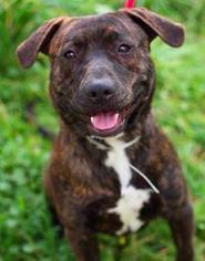 American Pit Bull Terrier Mix Dog For Adoption in San Ramon, CA, USA