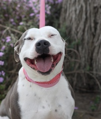 American Pit Bull Terrier Dog For Adoption in Fresno, CA, USA