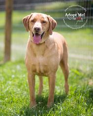 Labrador Retriever Mix Dog For Adoption in Westminster, MD