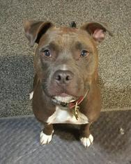 Boxer-Staffordshire Bull Terrier Mix Dog For Adoption in Monkton, MD, USA