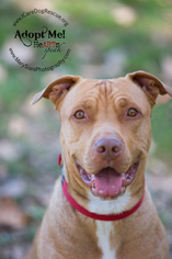 American Pit Bull Terrier-Labrador Retriever Mix Dog For Adoption in Rancho Santa Margarita, CA