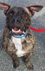 Boxer-Mastiff Mix Dog For Adoption in Boston, MA, USA