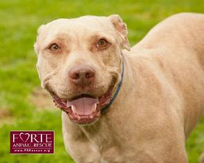 American Staffordshire Terrier Mix Dog For Adoption in Marina del Rey, CA, USA