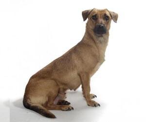 Medium Photo #1 Basset Hound Puppy For Sale in Oakland Park, FL, USA
