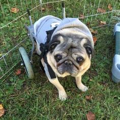 Pug Dog For Adoption in Summerfield, NC, USA