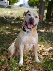 American Bullador  Mix Dog For Adoption in Fort Lauderdale, FL, USA