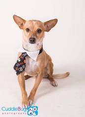 Chihuahua Mix Dog For Adoption in Irving, TX, USA