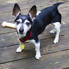 Rat Terrier Dog For Adoption in Atlanta, GA, USA