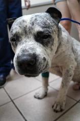 American Bulldog Mix Dog For Adoption in Mesa, AZ, USA