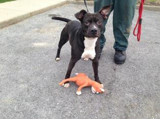 American Pit Bull Terrier Mix Dog For Adoption in Beckley, WV