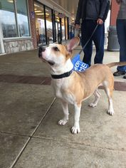 Boxer Mix Dog For Adoption in Brookeville, MD, USA