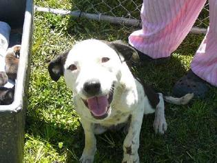 Catahoula Leopard Dog-Dalmatian Mix Dog For Adoption in Slidell, LA, USA