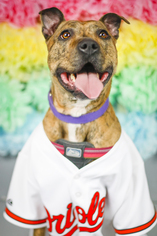 American Pit Bull Terrier Mix Dog For Adoption in White Marsh, MD, USA