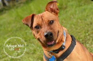 View Ad: American Staffordshire Terrier-Rhodesian ...