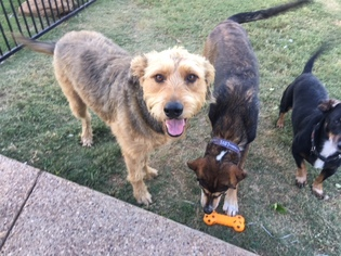 Airedale Terrier Dog For Adoption in McKinney, TX, USA
