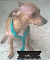 Chihuahua Dog For Adoption in Dallas, TX