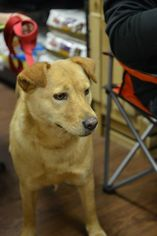 Chow Chow-Golden Retriever Mix Dog For Adoption in Tunica, MS, USA